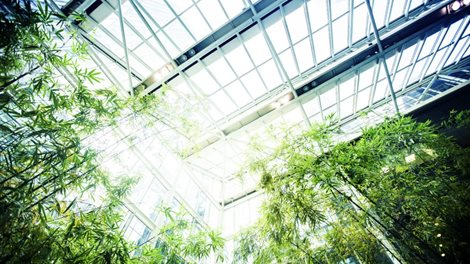 Large bamboo plants inside a glass building